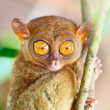 Phillipine tarsier - Stock fotografie