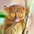 Phillipine tarsier — Stock Photo