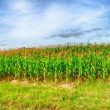 Corn crop - Stock Photo