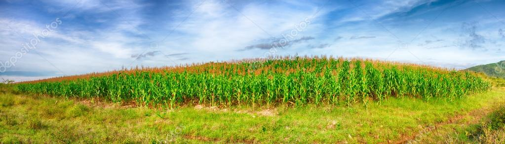 Panorama of the corn field. Vietnam — Stock Photo #12471287