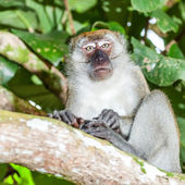 Macaque — Photo