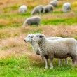 Sheeps — Stock Photo #13828613