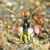 Mantis shrimp — ストック写真