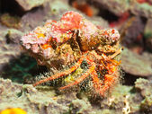 Hairy red hermit crab — Stock Photo