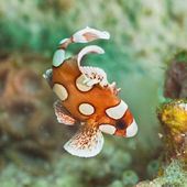 Jonge harlequin sweetlips — Stockfoto