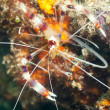 Stock Photo: Banded cleaner shrimp