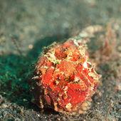 Tropische fische anglerfisch — Stockfoto