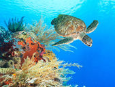 Turtle and coral — Stockfoto