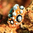 Phyllidia ocellata nudibranch — Stock Photo #15392489