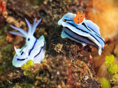 Nudibranches — Stock Photo