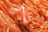 Tropical fish Pink clownfish — Stock Photo