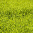 Texture of a pure green dense grass - Stock Photo