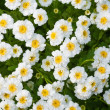 Close-up flower bed — Stock Photo