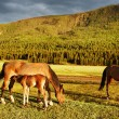 Grazing horses - Foto Stock
