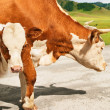 Cow and calf — Stock Photo #12448207