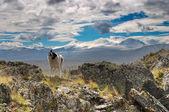 Pies na przełęcz — Zdjęcie stockowe