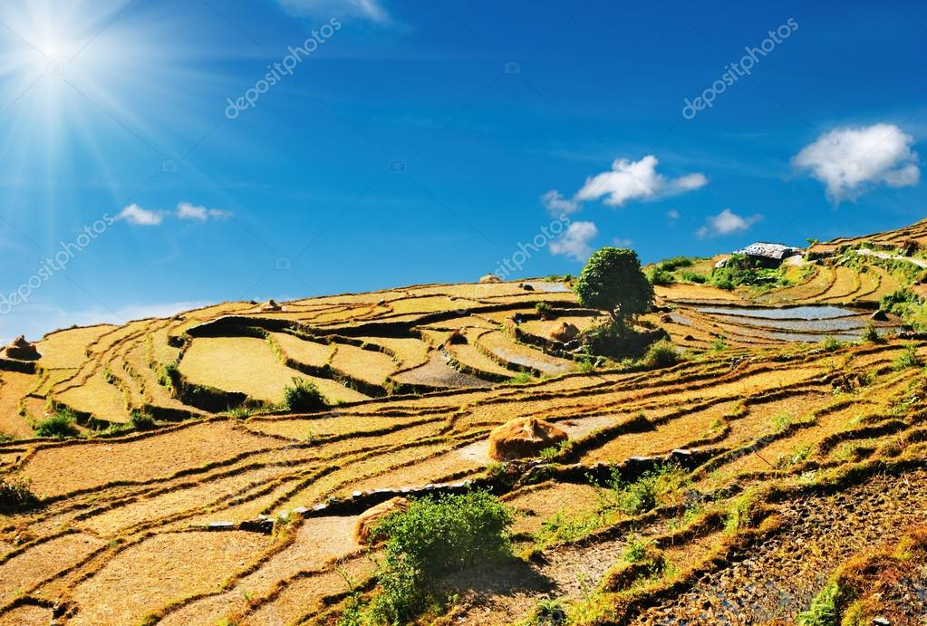Rice fields on the mountainside, Himalaya, Nepal  Photo #12443367