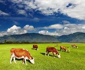 Pastoreo de vacas — Foto de Stock