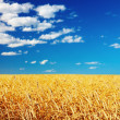 Wheat field — Stock Photo #26787919