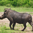 Wild hog — Stock Photo