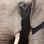 Close up of elephant, Chobe N.P., Botswana — Stock Photo #28215125