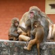 Monkey's family in hindu temple, Nepal — Stock Photo
