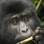 Eastern mountain gorilla baby in rainforest of Uganda — Stock Photo #28215161