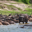 Buffaloes and hippos in the river — Stock Photo