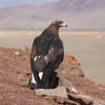 Tame hunting golden eagle in mongolian desert — Stock Photo #28215327