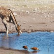 Drinking giraffe, Etosha N.P., Namibia — Stock Photo