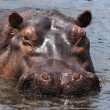 Wild hippo on the Nile — Stock Photo