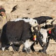 Tibetan farmer plough by draught yaks — Stock Photo #28215723
