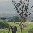 Elephant in african savanna — Stock Photo