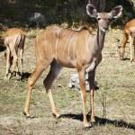 Kudu antelope, Chobe N.P., Botswana — Stock Photo #28216149