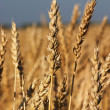Wheat field — Stock Photo #28216177