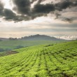 Stock Photo: Teplantation in Uganda