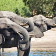 Stock Photo: Drinking elephants, Chobe N.P., Botswana