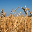 Wheat field — Stock Photo #28216567