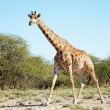 Wild giraffe in african savanna, Etosha N.P., Namibia — Stock Photo