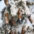 Frost covered fir tree with cones — Stockfoto