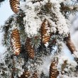 Frost covered fir tree with cones — Stock Photo