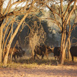 Herd of buffaloes in african savanna, Etosha N.P., Namibia — Stockfoto