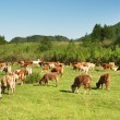 Landscape with grazing cows — Stock Photo