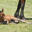 New-born foal — Stockfoto