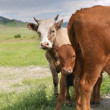 Stock Photo: Cow with calf