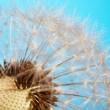 Closeup of dandelion — Stock Photo