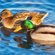 Stock Photo: Pair of ducks