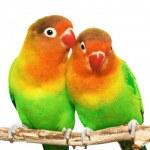Pair of lovebirds agapornis-fischeri isolated on white — Stock Photo #28217131