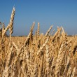 Wheat field — Stock Photo #28217359