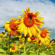 Sunflowers on blue sky background — Stock Photo #28217365